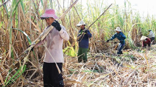 Vùng nguyên liệu mía Ninh Sơn có thể bị thu hẹp