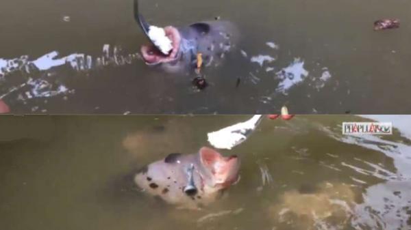 Đàn cá phải dùng muỗng đút mới chịu ăn ở Cần Thơ