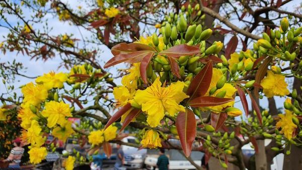Chiêm ngưỡng cây mai hơn 100 tuổi tại chợ hoa xuân Đà Nẵng