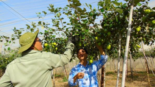 Ninh Thuận: Hiệu quả việc trùm lưới màng cho vườn táo