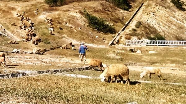 Ninh Thuận: Nước cạn, đồng khô…