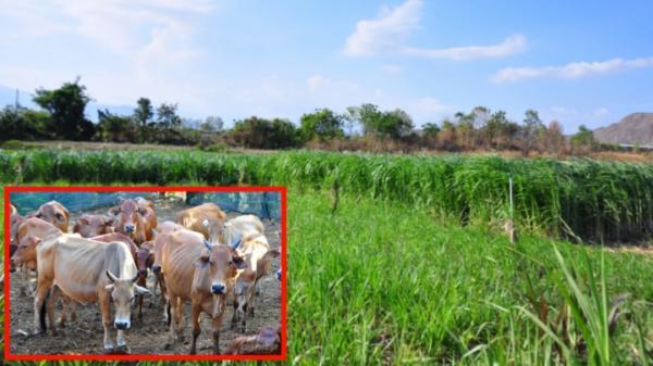 Ninh Thuận: Từ những đồng cỏ ngát xanh ở vùng khô cháy