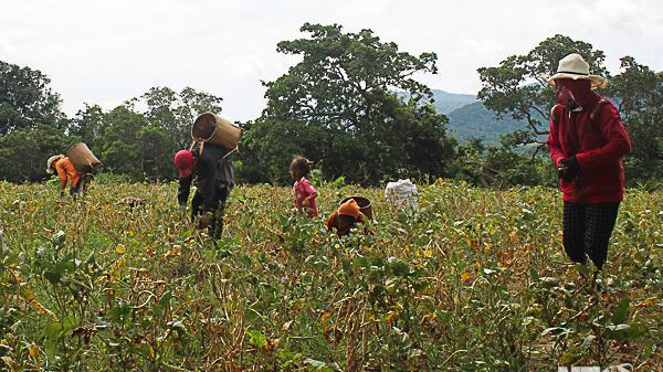 Ninh Thuận: Nông dân xã Ma Nới được mùa đậu đen