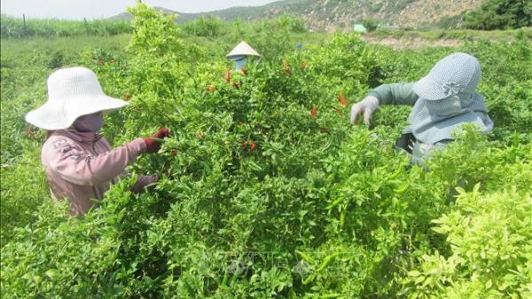 Ninh Thuận: Giá ớt liên tục tăng cao
