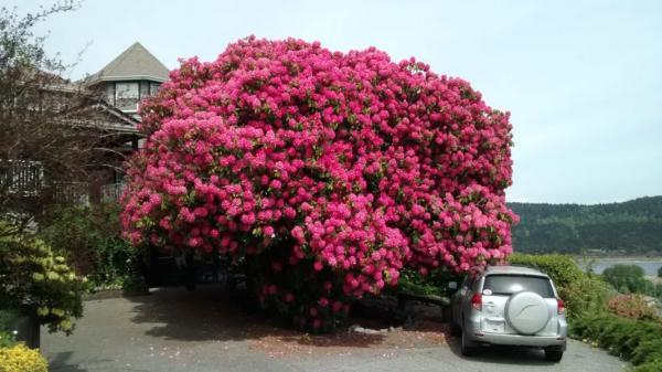 Cây hoa đỗ quyên 116 tuổi: Địa điểm không thể bỏ qua khi đi chơi tại Canada