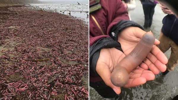 """Phát hiện hàng ngàn con """"cá dương vật"""" ngoe nguẩy trên bờ biển - Chuyện gì đã xảy ra vậy?"""