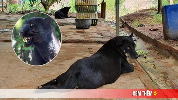 Tìm thấy dấu chân chó ở khu vực nghi có 2 con báo đen khoảng 100kg xuất hiện ở Đồng Nai