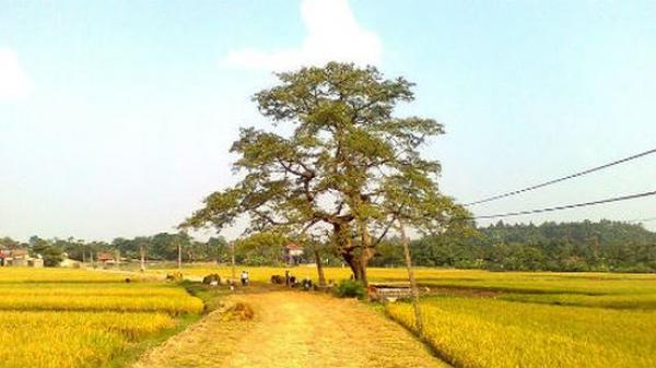 """Ly kỳ chuyện cây gạo cổ """"ma ám"""" ở Phú Thọ"""