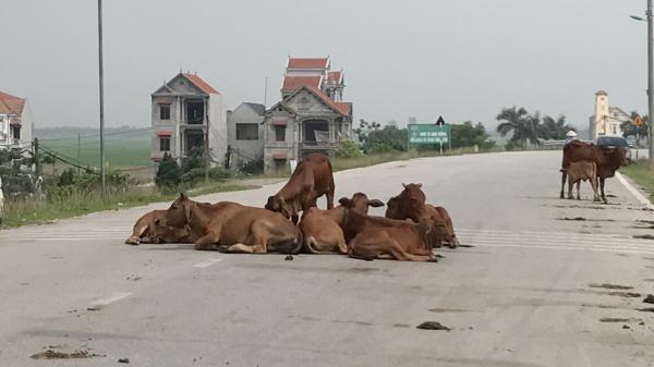 """Lâm Thao: Đường giao thông biến thành… """"chuồng bò"""""""