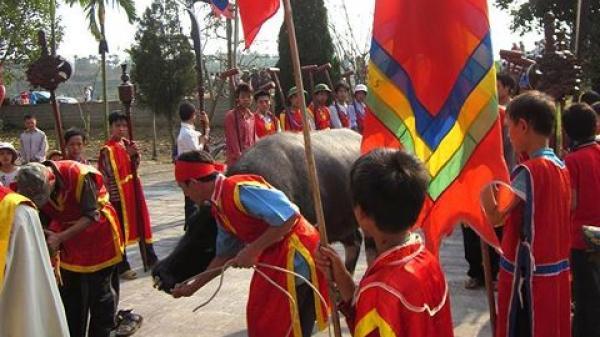 Không thực hành tục đập đầu trâu tại lễ hội Cầu trâu, Phú Thọ