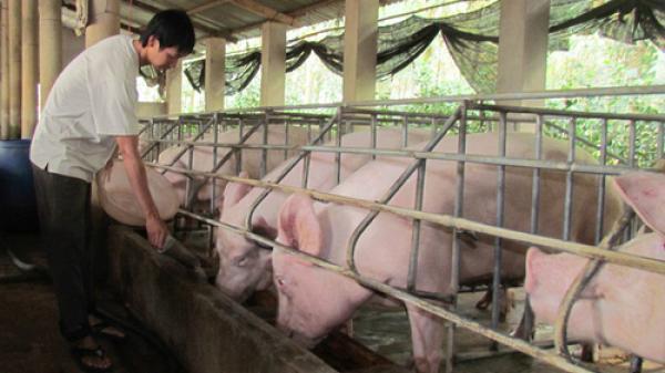 Phú Thọ: Thu tiền tỷ nhờ nuôi đàn lợn nghìn con khép kín