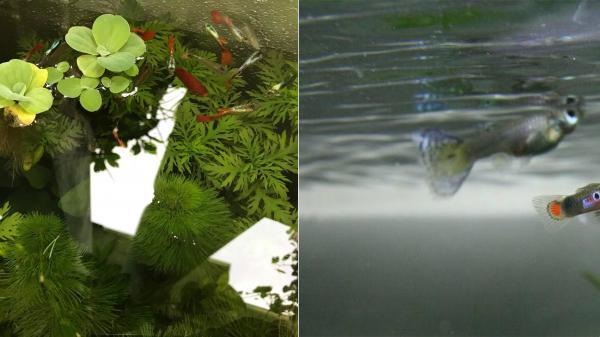 Ký ức tuổi thơ ùa về với những chú cá 7 màu của chàng trai Phú Thọ