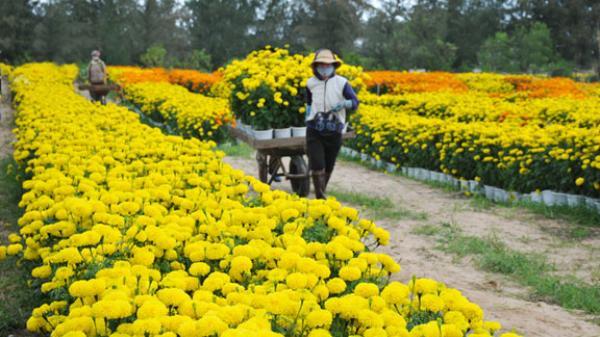 Mùa vạn thọ Phú Yên: nhìn hoa biết Tết sắp về, lòng người xa quê lại quay quắt nhớ làng