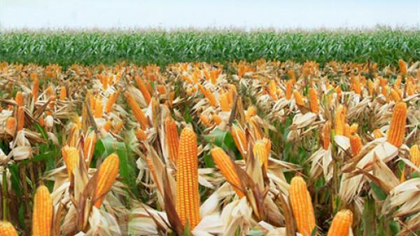 Phú Yên: Nhiều hộ nông dân Tuy An có thu nhập cao từ trồng bắp lai.
