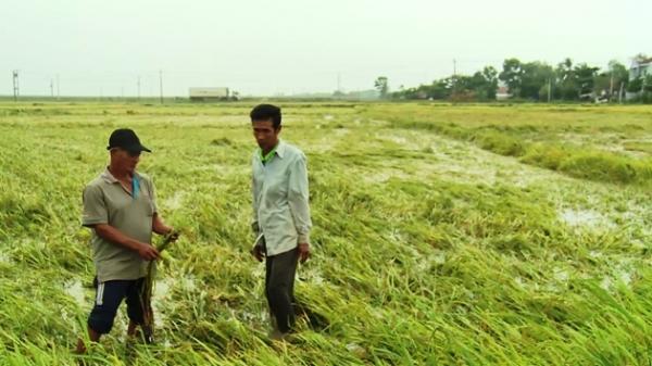 Hàng trăm héc ta lúa ở Phú Yên lại bị ngập úng, thiệt hại nặng