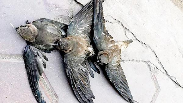 Báo động tình trạng bắt chim yến làm vật phóng sinh