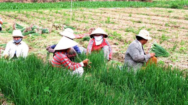 Hành lá rớt giá, nông dân Phú Yên khốn khó