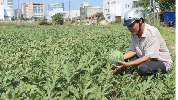 Phú Yên: Cần lắm thương hiệu cho dưa hấu phường 5