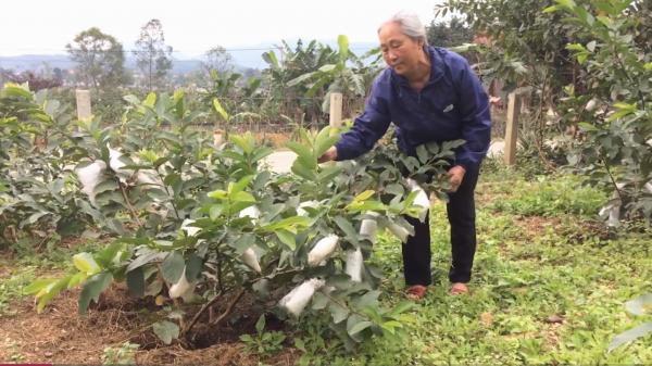 Nông dân Quảng Bình thu nhập 300 triệu mỗi năm nhờ trồng ổi