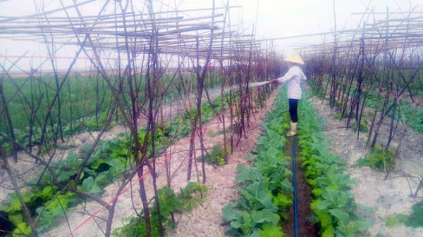 Quảng Bình: Thu nhập trên 100 triệu/năm nhờ trồng rau màu