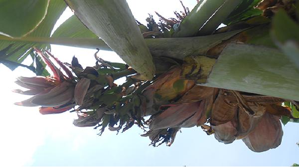 2 cây chuối 'mắn đẻ' nhất Việt Nam