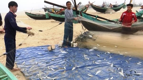 Đầu xuân, ngư dân Quảng Bình được mùa cá trích