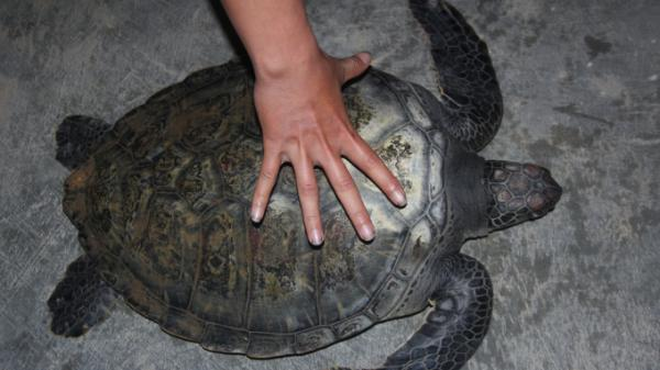 Quảng Bình: Giải cứu thành công rùa biển quý hiếm bị sa lưới ngư dân