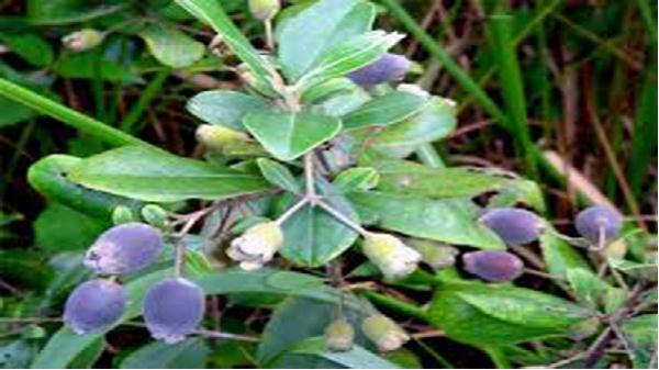 Quảng Bình hỗ trợ phát triển cây sim tự nhiên