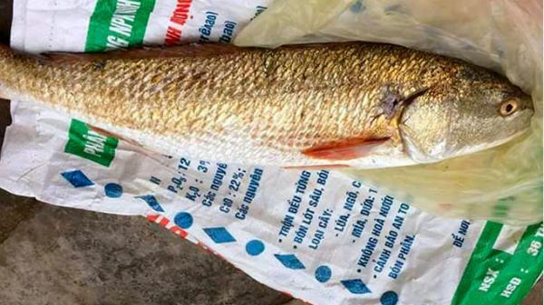 Thợ lặn bắt được cá sủ vàng quý hiếm nặng 2,5 kg