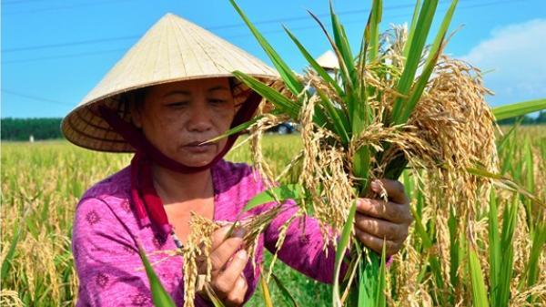 Nông dân Quảng Bình điêu đứng vì lúa lép hạt