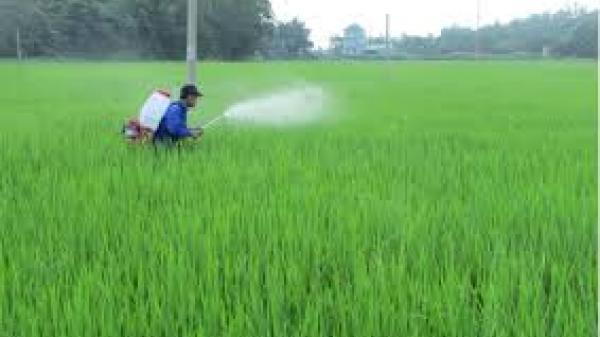 Quảng Bình: 2.000ha lúa nhiễm sâu bệnh