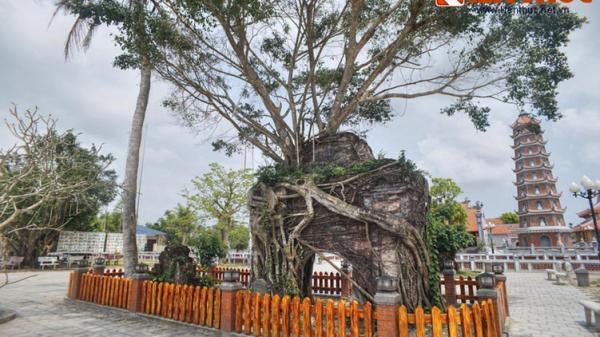 Quảng Bình: Ngắm cây si khủng mọc trùm lên cổng chùa cổ nhất miền Trung
