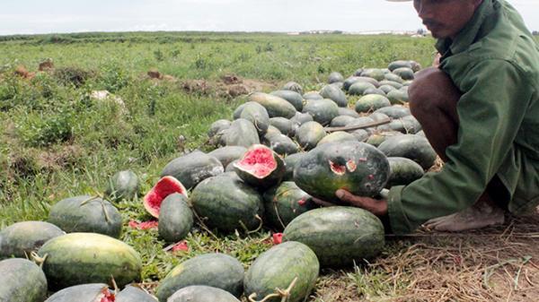 """Người trồng dưa hấu ở Đại Trạch """"trắng tay"""" do thời tiết"""