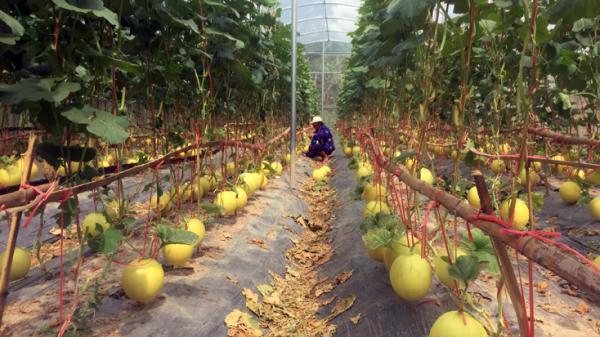 Lệ Thủy: Phát triển mô hình trồng dưa lưới trong nhà màng