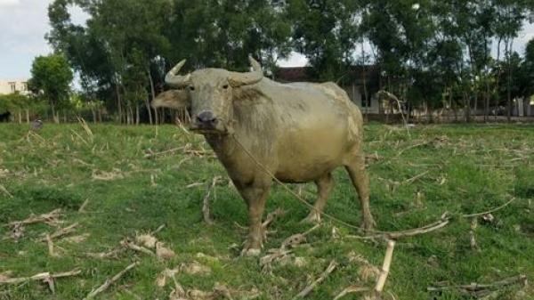 Vụ đóng 'phí gặm cỏ' cho trâu bò: Yêu cầu chấm dứt các khoản vô lý