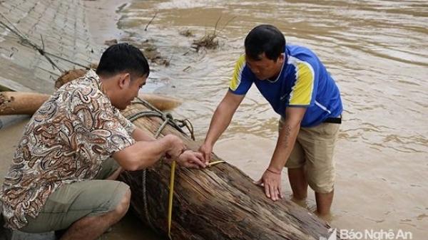Đi vớt củi trúng báu vật trăm tuổi giữa dòng nước lũ