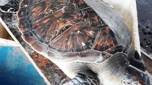 Con vích quý hiếm bị mắc cạn ở bờ biển Đồng Hới