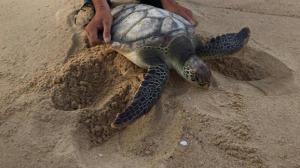 Thả rùa quý về biển