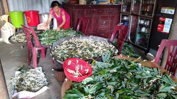 Quảng Bình: Nuôi tằm ăn lá sắn, cả xã có thêm thu nhập