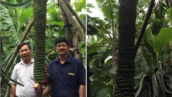 Quảng Bình: Buồng chuối khủng dài trên 2m, hơn 200 nải