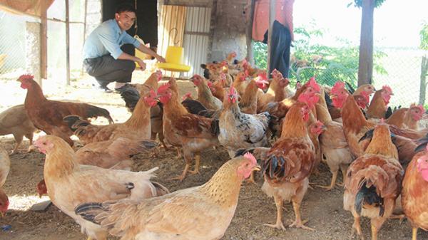 Xã Đồng Trạch: Thử nghiệm mô hình nuôi gà trên đệm lót sinh học