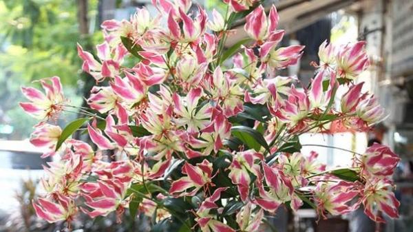 Loài hoa nhập dịp Tết khiến chị em phát cuồng chứa chất kịch độc