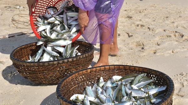 Mùa cá trích biển quê mình