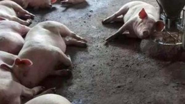 Quảng Bình: Dân xót xa nhìn 25 tấn lợn l,ở m,ồm long móng bị tiêu hủy