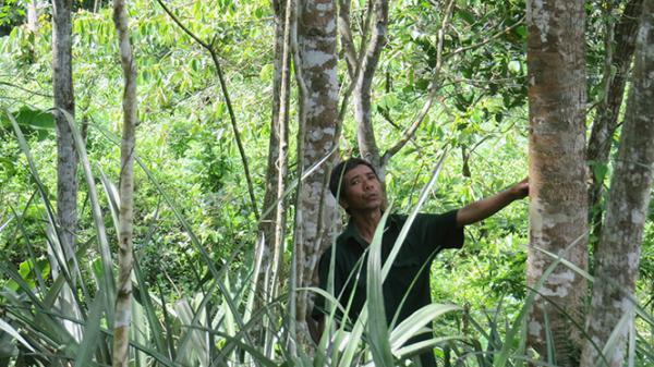 Rừng gỗ quý của lão nông Tuyên Hóa