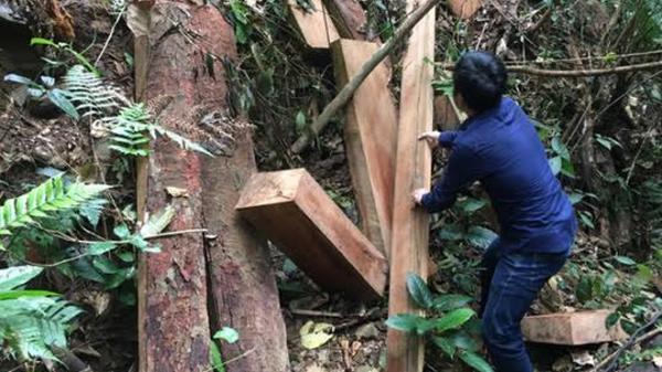 Quảng Bình: Cận cảnh hiện trường rừng nguyên sinh bị lâm tặc tr iệt hạ