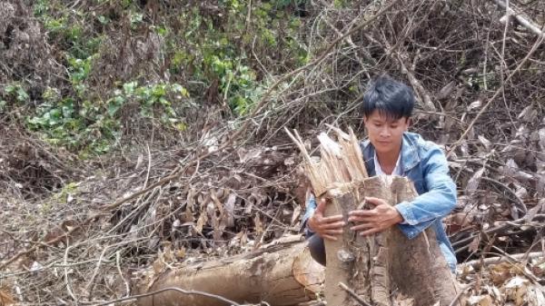 Quảng Bình: Hơn 2 hecta rừng gần trạm kiểm lâm bị đốn hạ