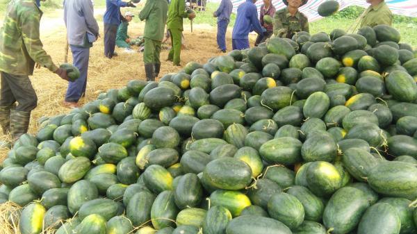 Nông dân Bố Trạch được mùa dưa hấu