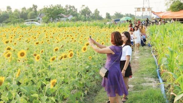 Cánh đồng hoa hướng dương tuyệt đẹp ở Quảng Bình thu hút du khách đến tham quan và chiêm ngưỡng
