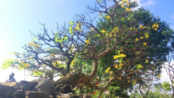 """Chiêm ngưỡng cây Hoàng Mai thế """"Bạt phong hồi đầu"""" giá 5 tỷ giờ ở Quảng Bình"""